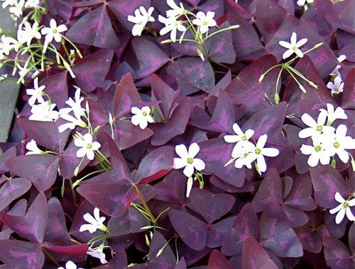 purple_shamrock