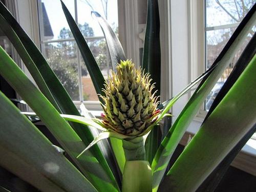 pineapple-9