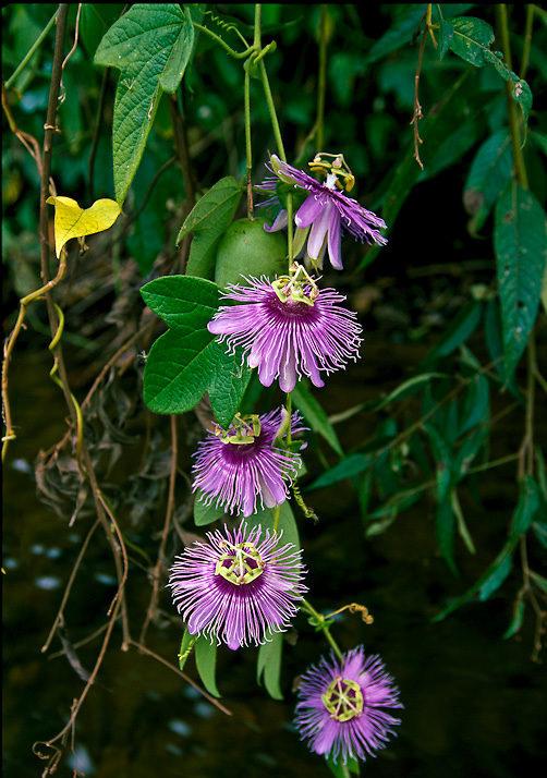 Blossoms of a sleder passion flower vine