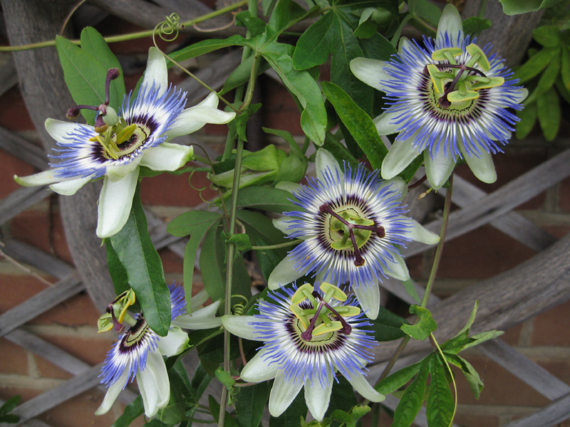 passiflora-caerulea-flower