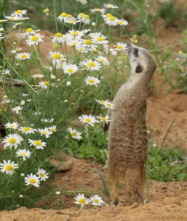 Animal Sniffing Flowers 7