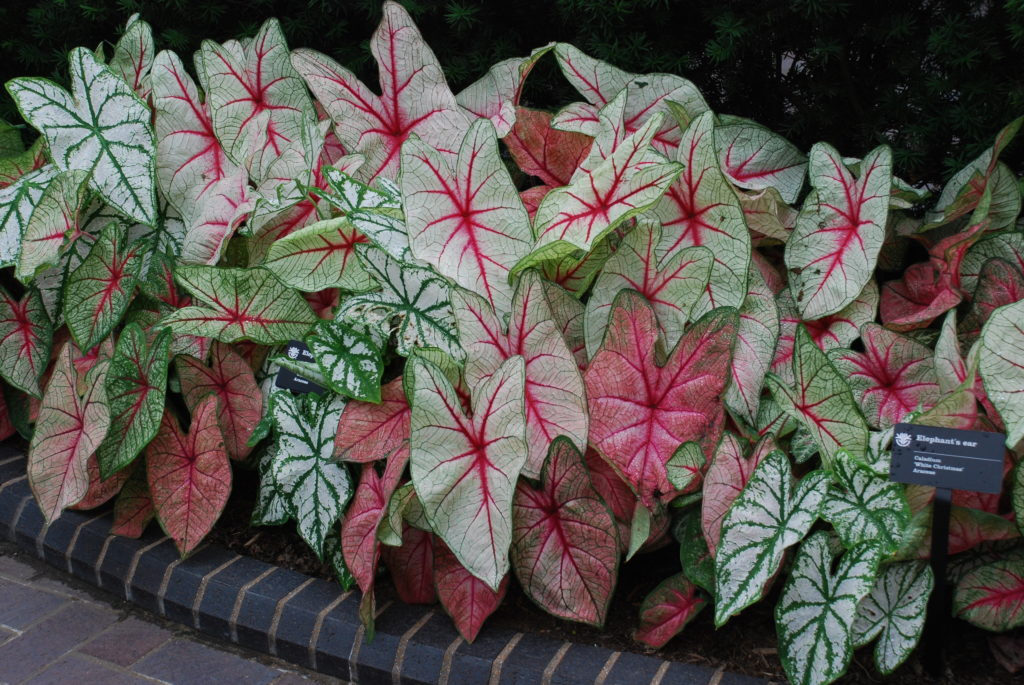 Arranging Caladiums In Flower Beds Small But Effective Ideas