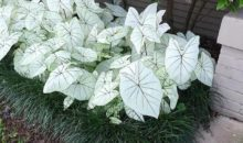 Arranging Caladiums In Flower Beds: Small But Effective Ideas