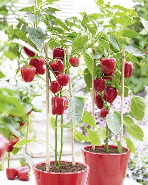 Bell Peppers in Pots 02