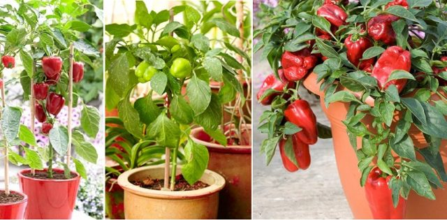 Bell Peppers in Pots 03