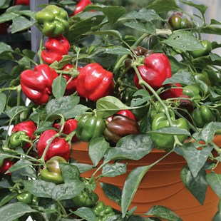 Bell Peppers in Pots 04