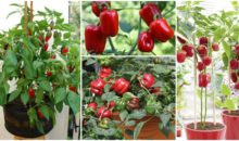 How to Grow & Care For Bell Peppers in Containers