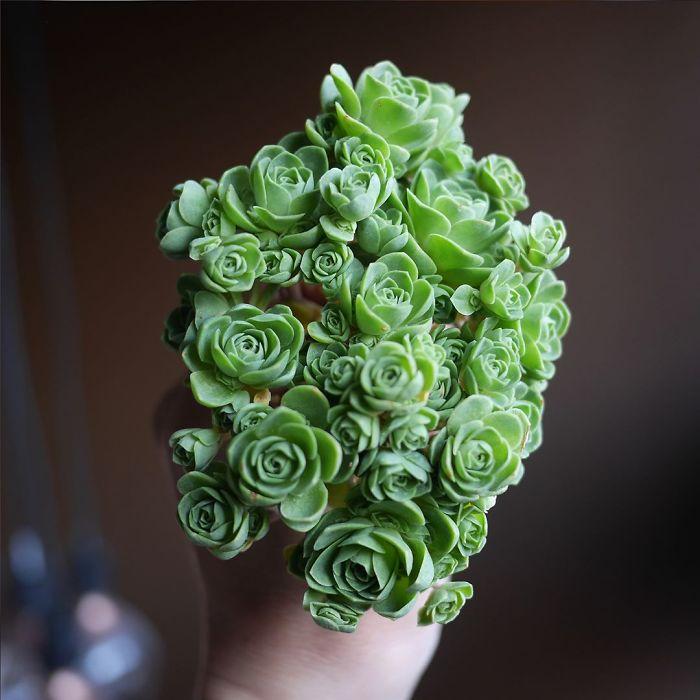 Rose Shaped Succulents 02