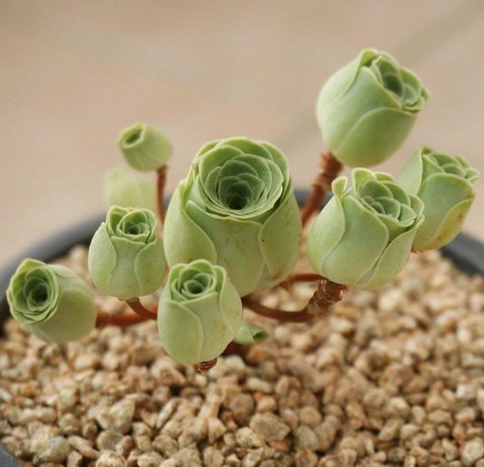 Rose Shaped Succulents 03