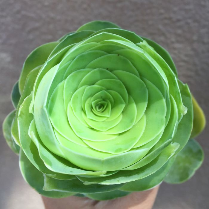 Rose Shaped Succulents 06