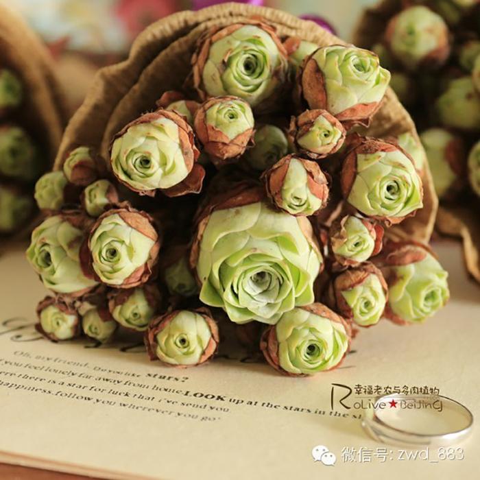 Rose Shaped Succulents 08