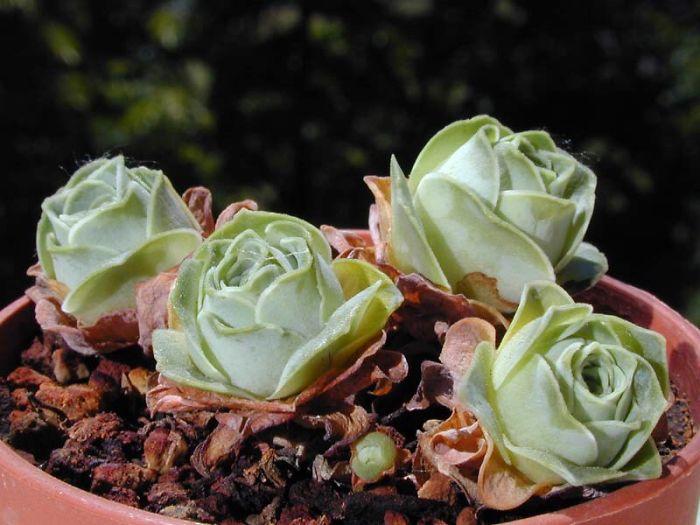Rose Shaped Succulents 09