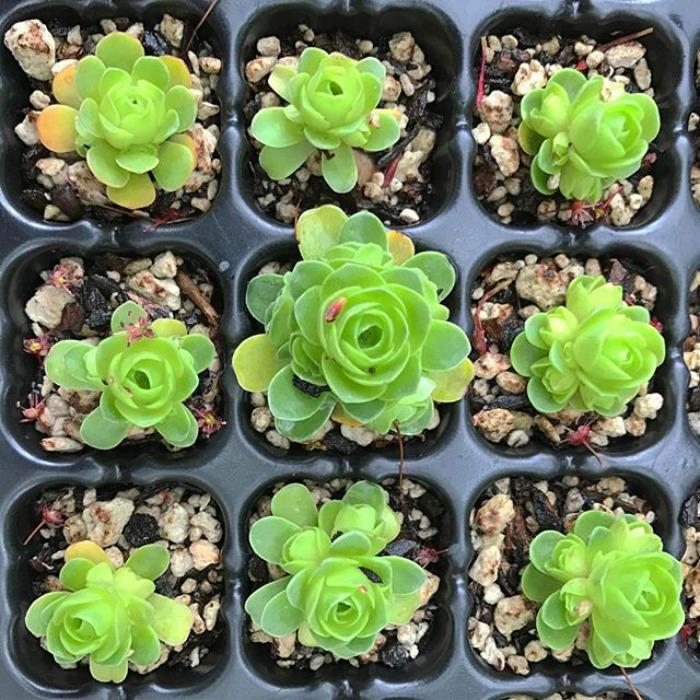 Rose Shaped Succulents 12