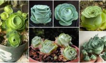 Rose Succulents – They Look Straight Out Of A Fairytale!