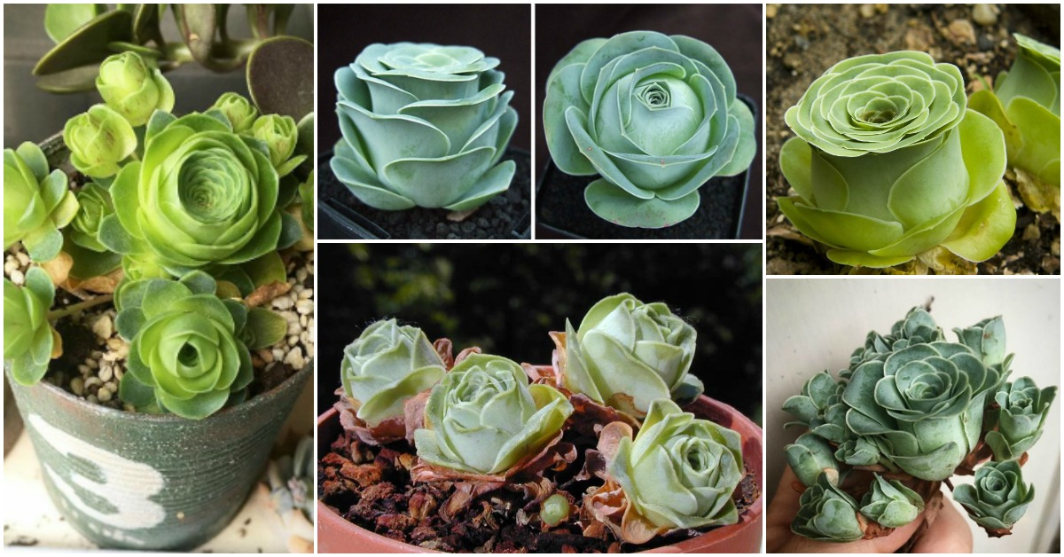 Rose Shaped Succulents Feat