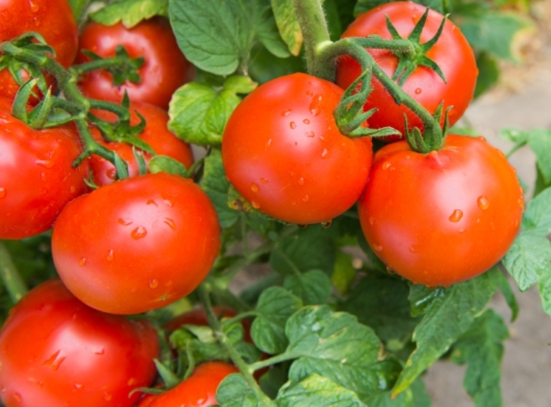 Best Tips Amp Tricks For Growing Tomatoes In Containers