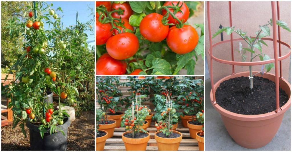 Best tips tricks for growing tomatoes in containers site for everything - Best tomato plants for container gardening ...