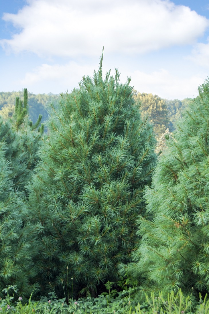 The top 10 fastest growing trees to shade your home for Mature pine trees