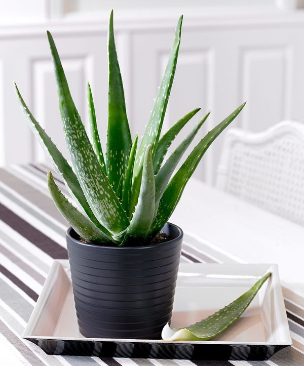 How to grow aloe vera indoors - Aloe vera plant care tips beginners guide ...