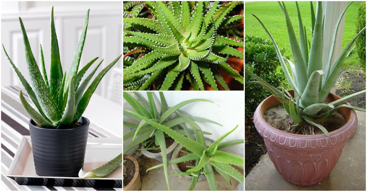 how to grow aloe vera indoors. Black Bedroom Furniture Sets. Home Design Ideas